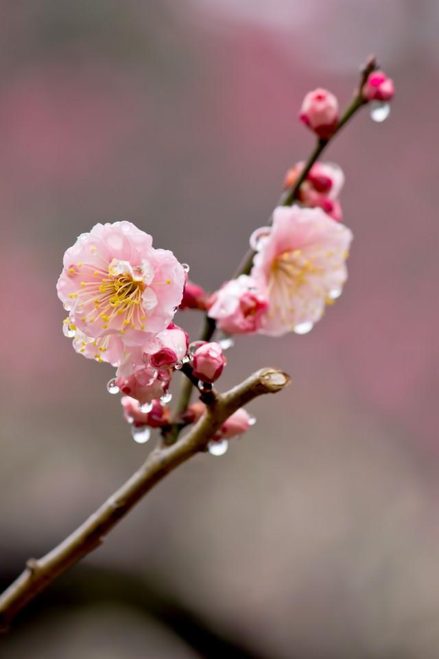 雨に濡れたピンクの梅の花の写真