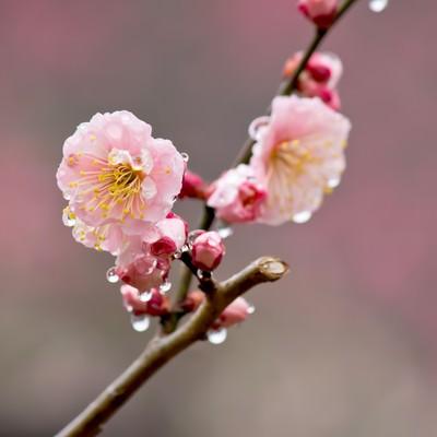 「雨に濡れたピンクの梅の花」の写真素材