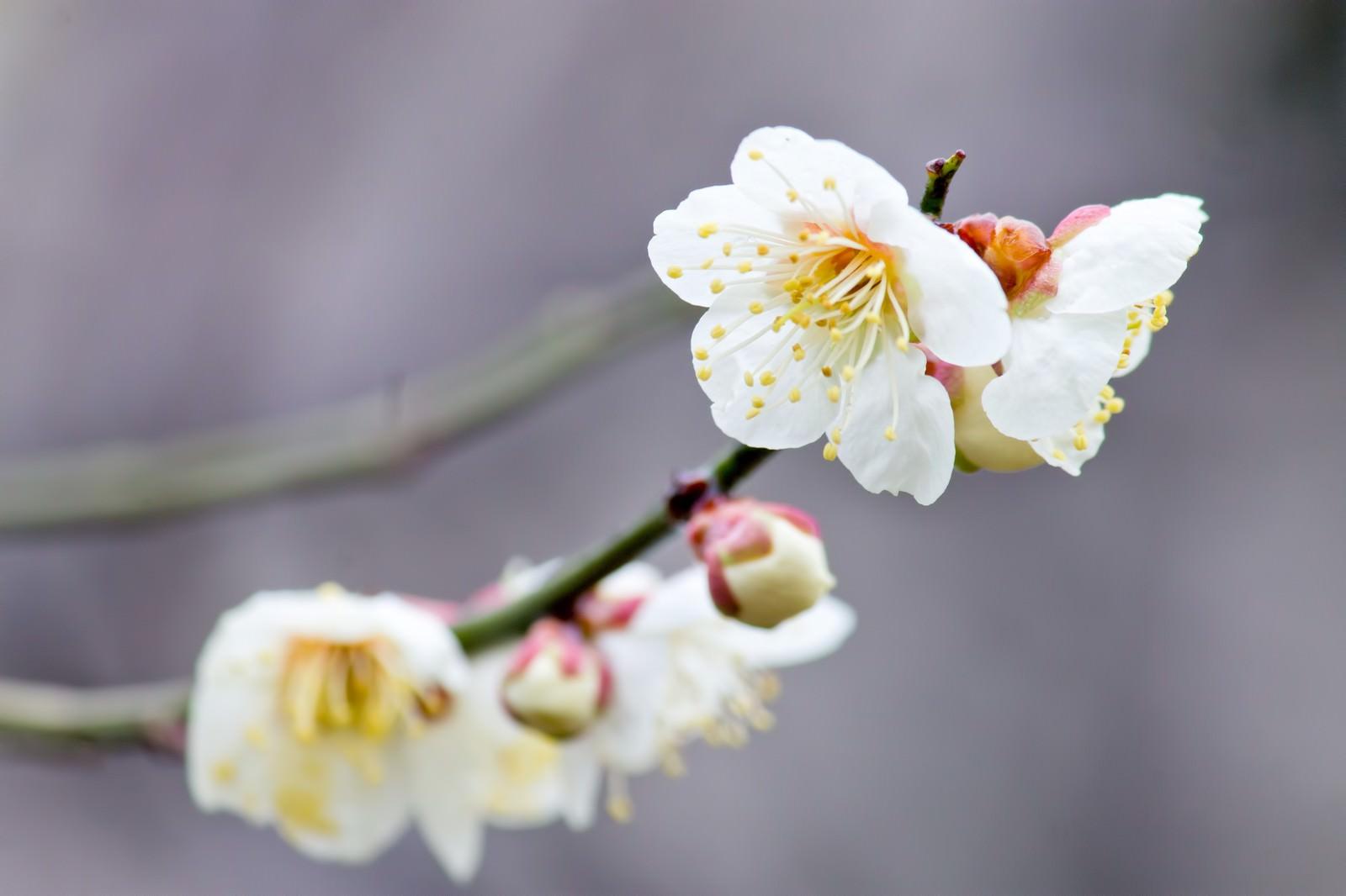 「枝に花咲く梅の花」の写真