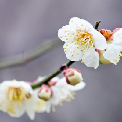 「枝に花咲く梅の花」の写真素材