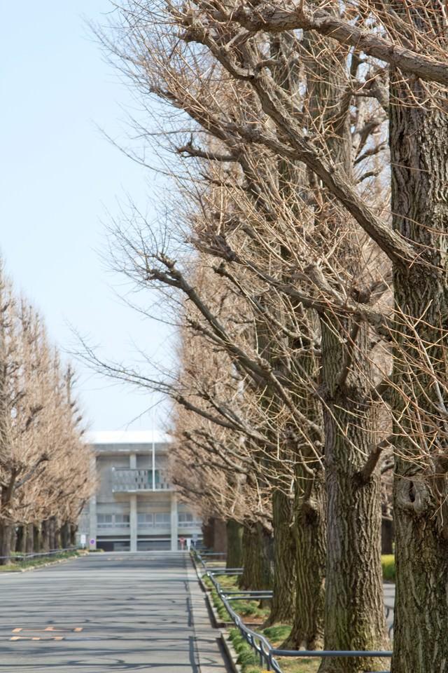 葉が落ちた慶応の銀杏並木の写真