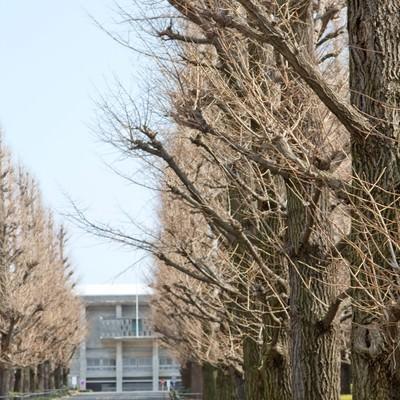 「葉が落ちた慶応の銀杏並木」の写真素材