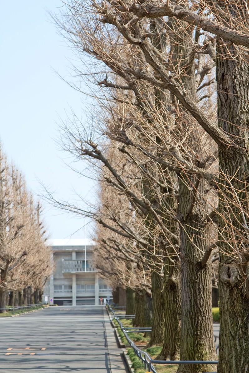 「葉が落ちた慶応の銀杏並木」の写真