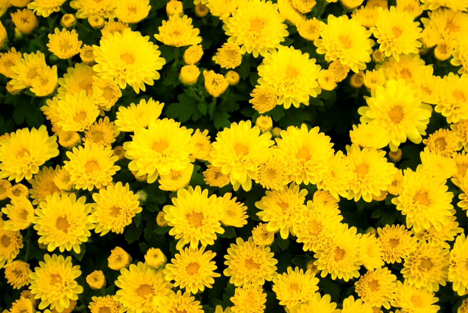 「黄色い花のテクスチャー黄色い花のテクスチャー」のフリー写真素材を拡大