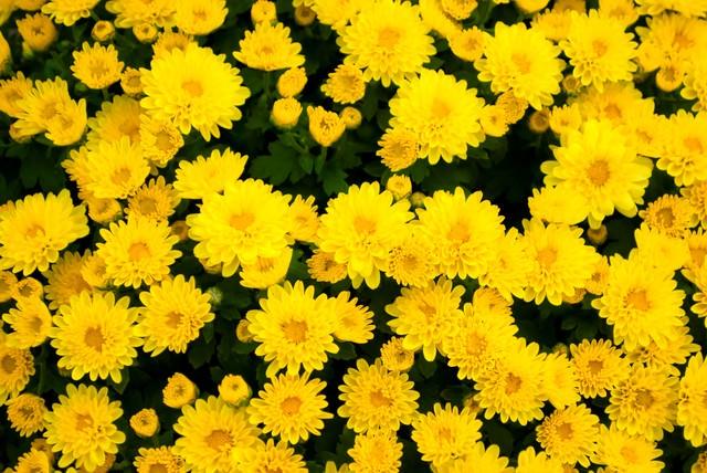 黄色い花のテクスチャーの写真