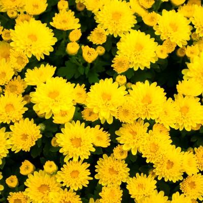 「黄色い花のテクスチャー」の写真素材