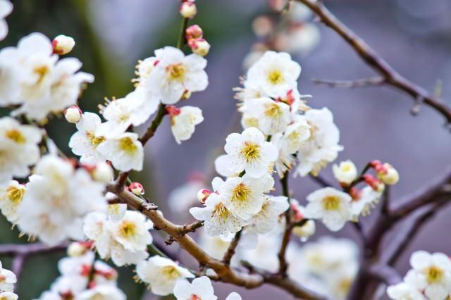 満開の梅の花の写真