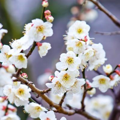 「満開の梅の花」の写真素材