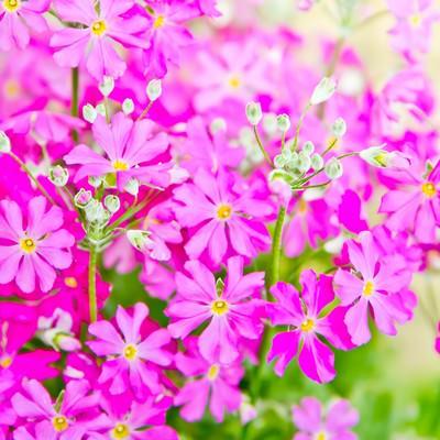 「小ぶりなピンクのお花」の写真素材