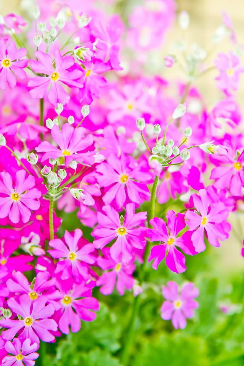 「小ぶりなピンクのお花」の写真