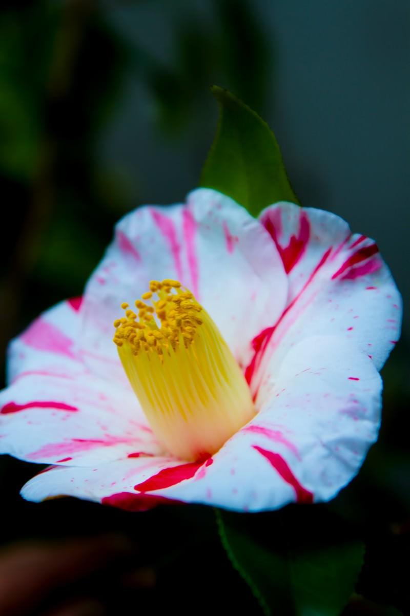 「白い椿の花」の写真