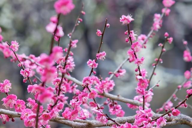 ピンクの梅の花(雨)の写真