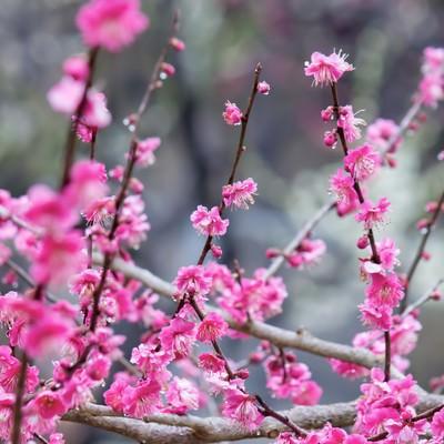 「ピンクの梅の花(雨)」の写真素材