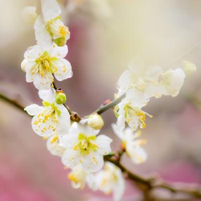 幻想的な雰囲気の梅の花の写真