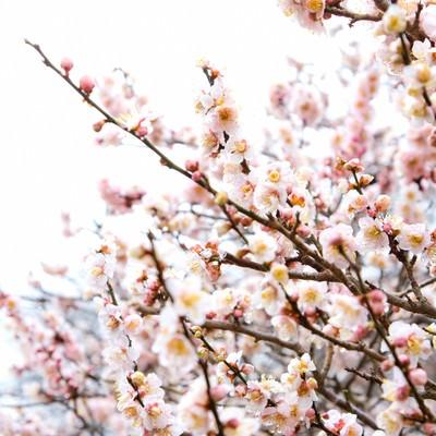 「白い梅の花」の写真素材