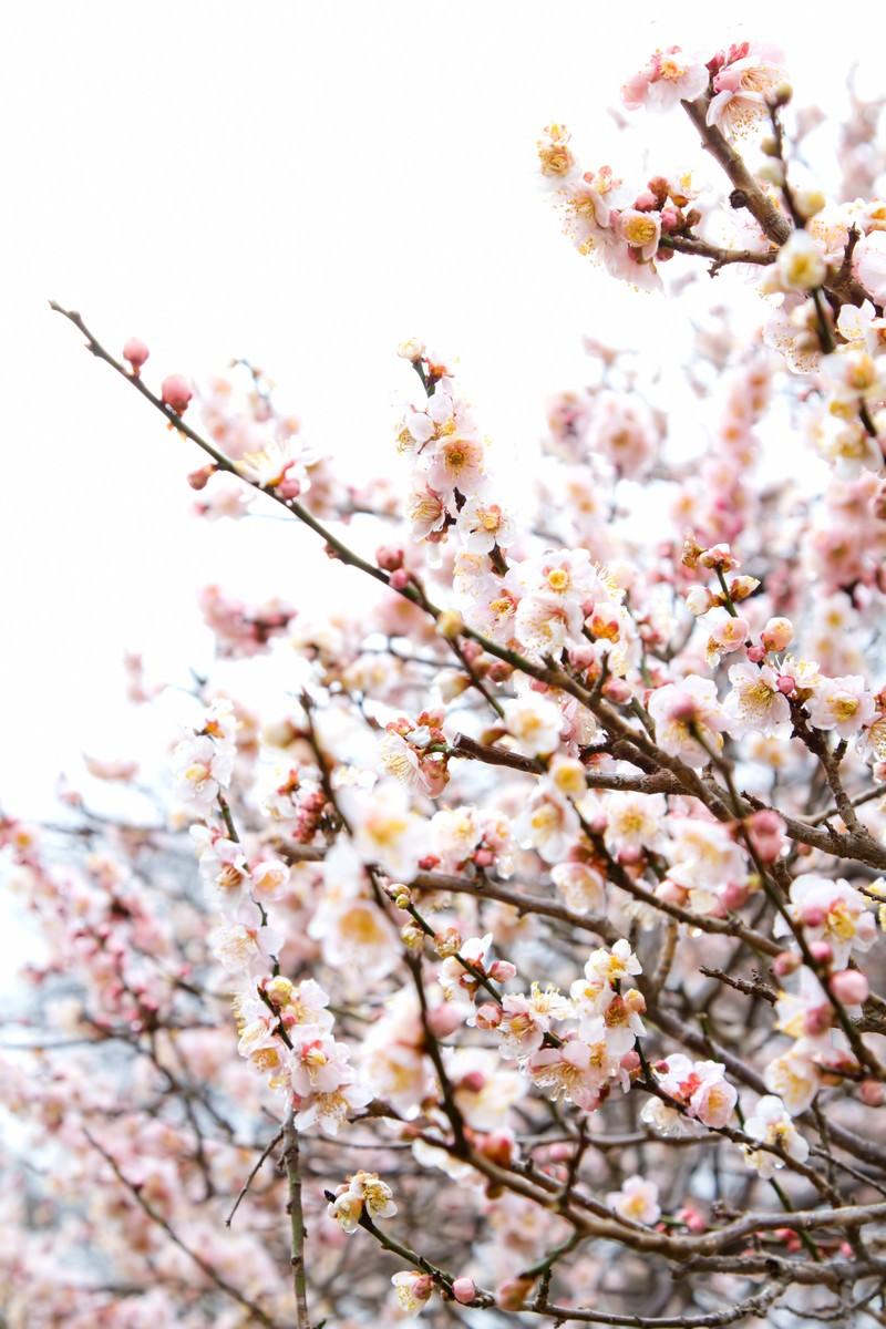 「白い梅の花 | 写真の無料素材・フリー素材 - ぱくたそ」の写真