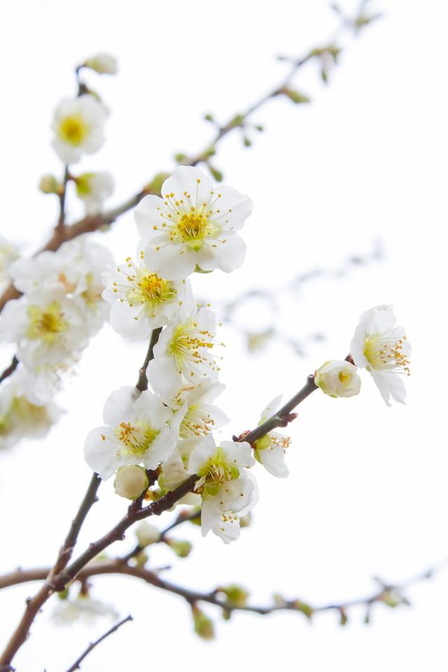 満開の梅の花とつぼみの写真