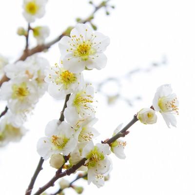 「満開の梅の花とつぼみ」の写真素材