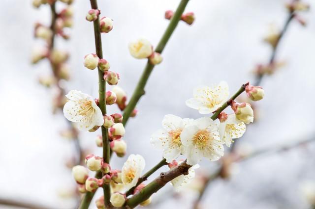 枝から生える梅の花と蕾の写真