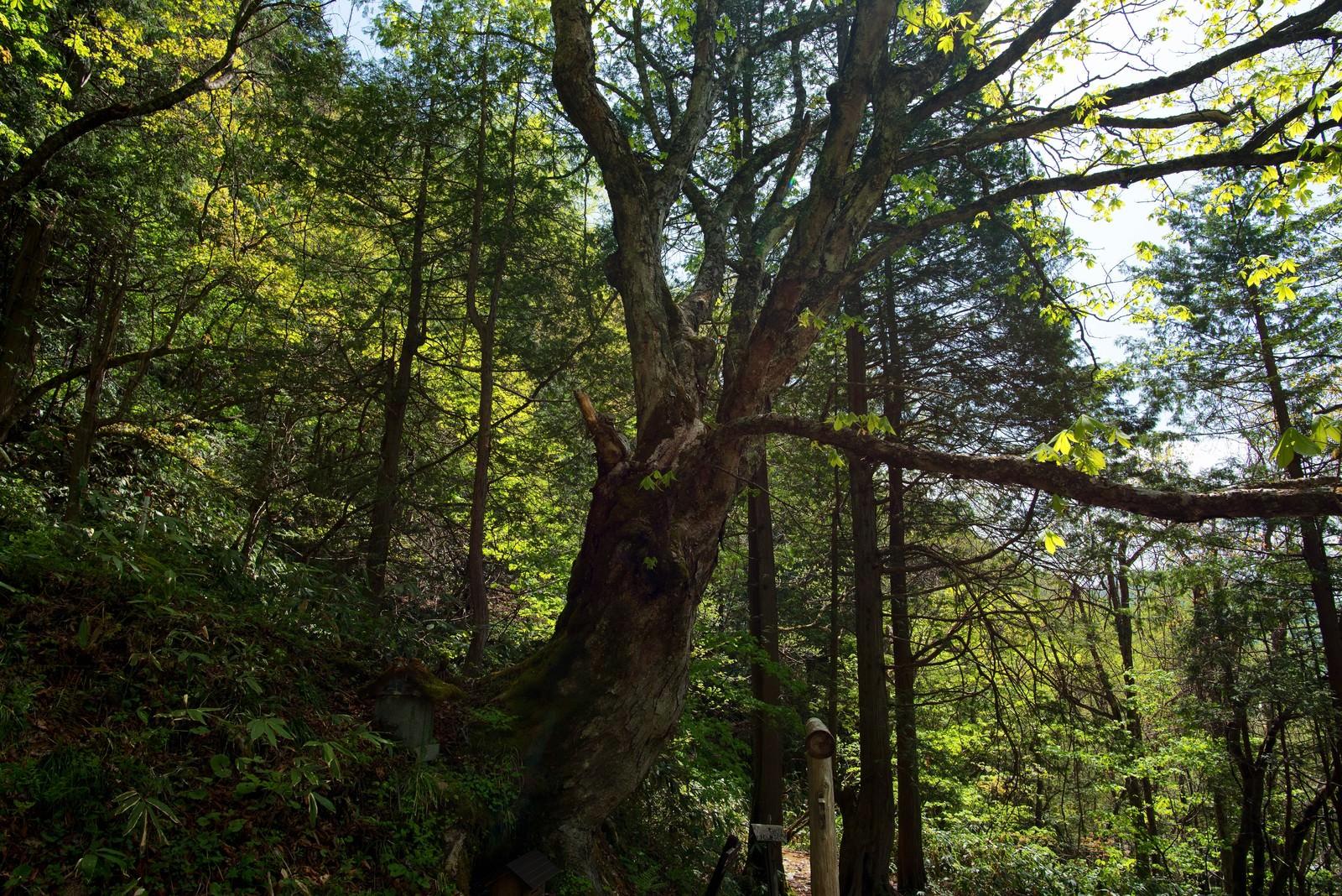 「一ノ沢登山道に佇む御神木」の写真
