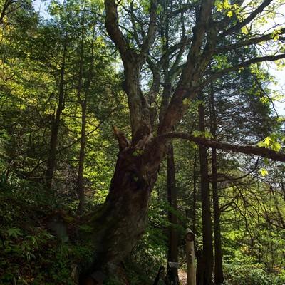 一ノ沢登山道に佇む御神木の写真