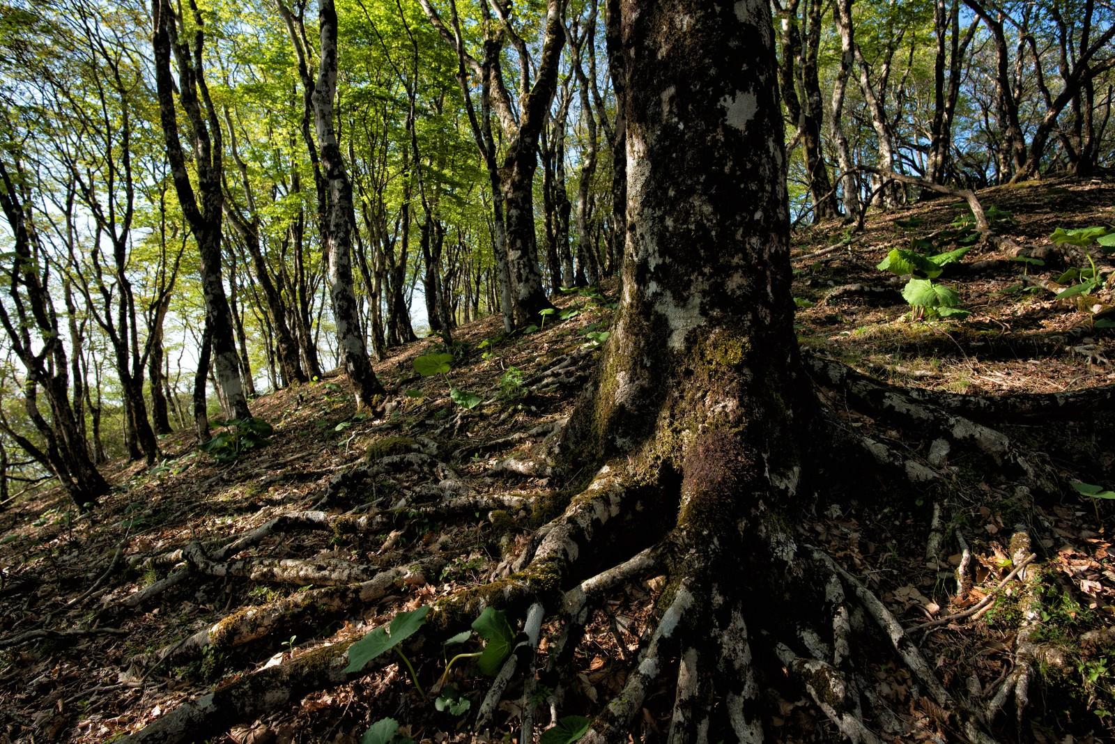 「丹沢にあるブナの森」の写真