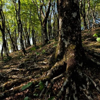 丹沢にあるブナの森の写真