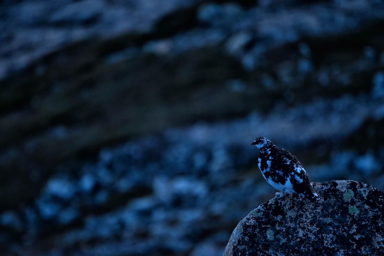 「岩場の雷鳥」の写真