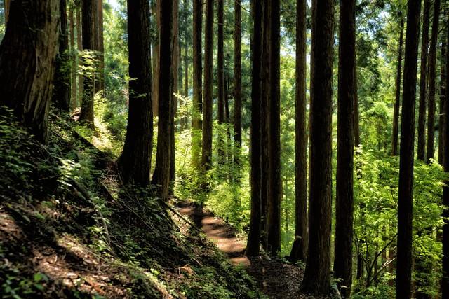 木漏れ日の光と丹沢の森の写真