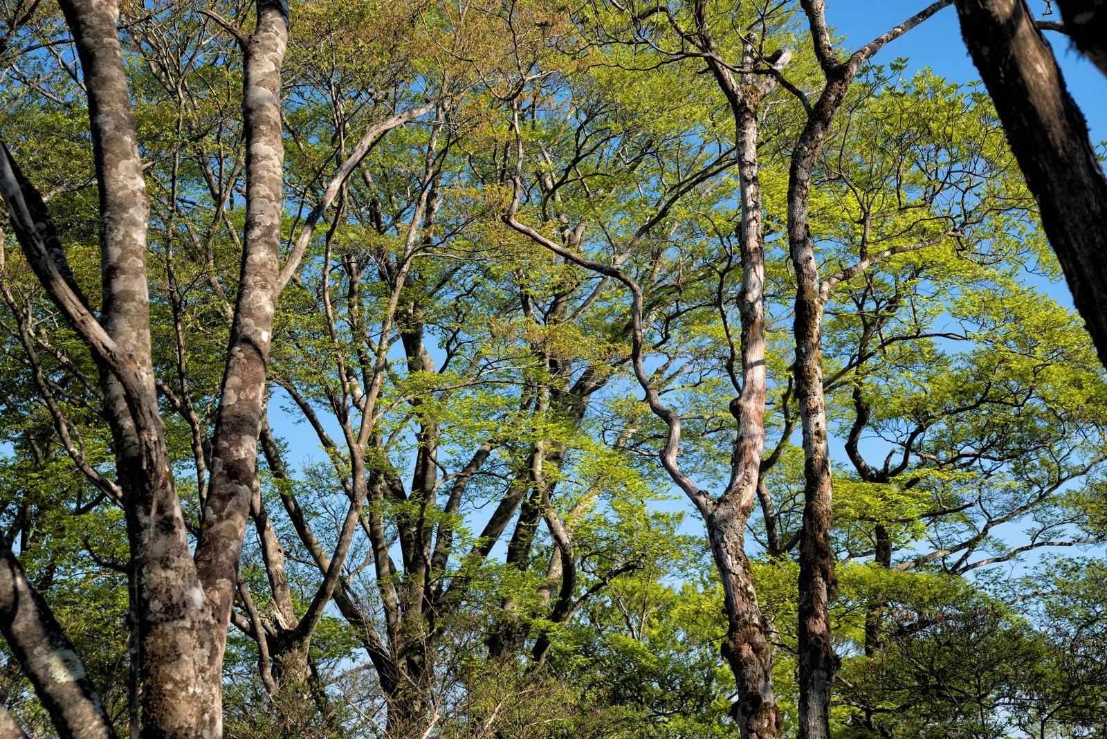 「新緑のブナ林」の写真