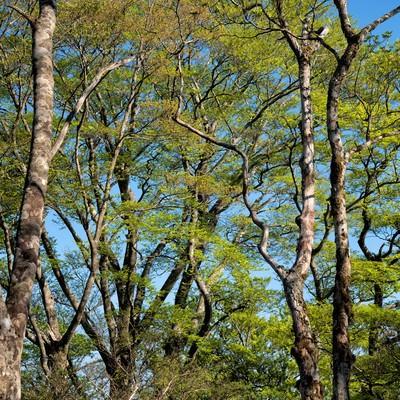 新緑のブナ林の写真