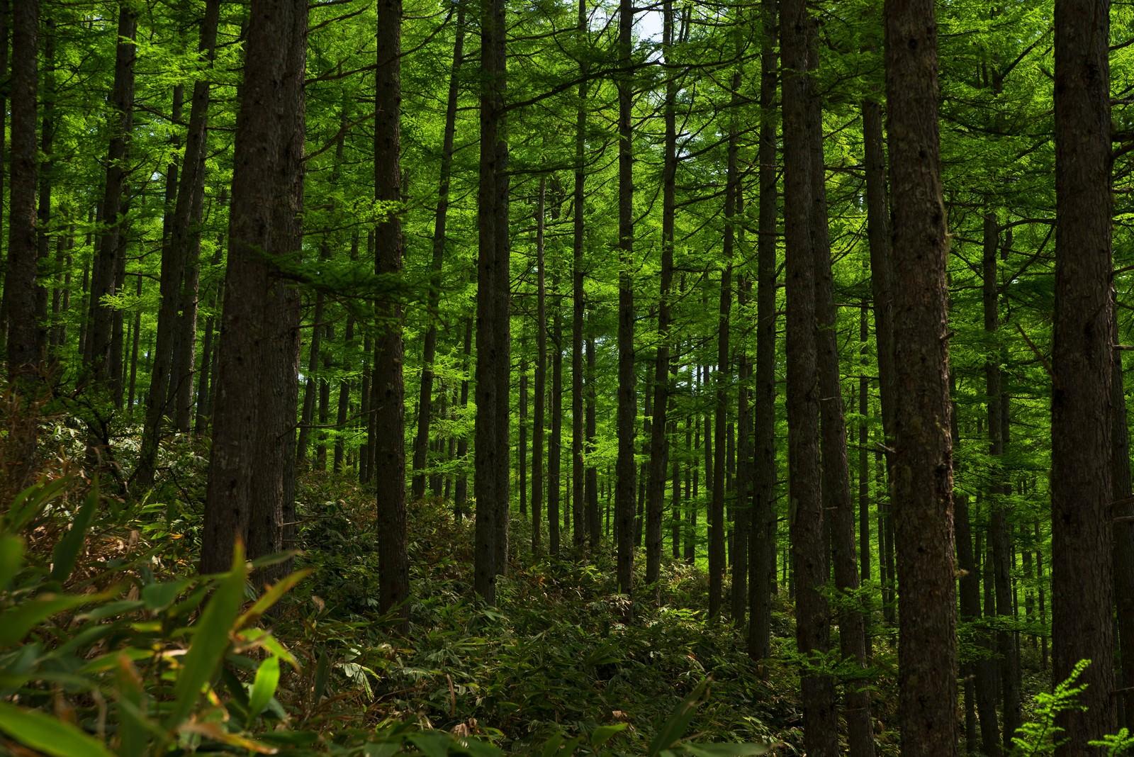 「北アルプスの深い森」の写真