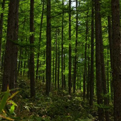 北アルプスの深い森の写真