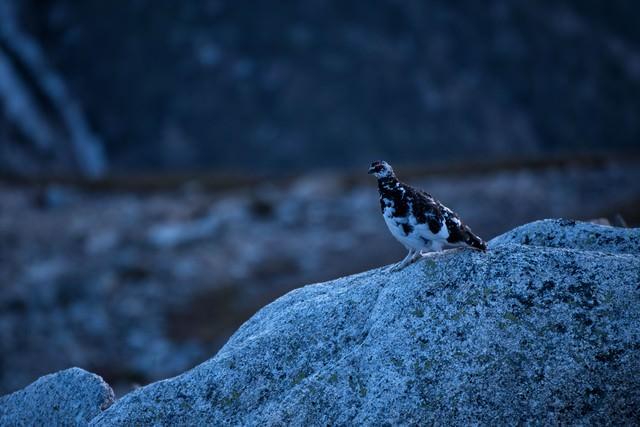 岩場の雷鳥の写真