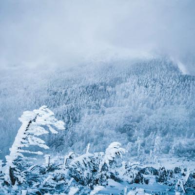エビの尻尾と吹雪く白銀の森の写真