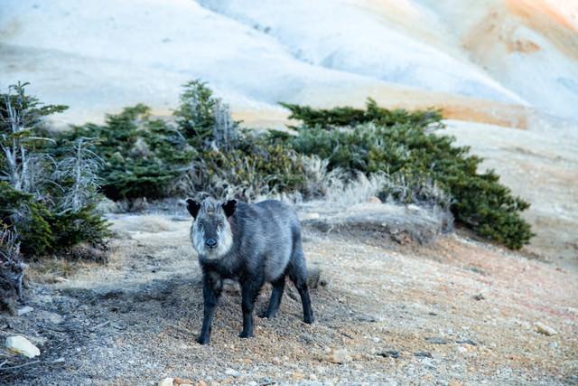 登山道で遭遇した野生のカモシカの写真