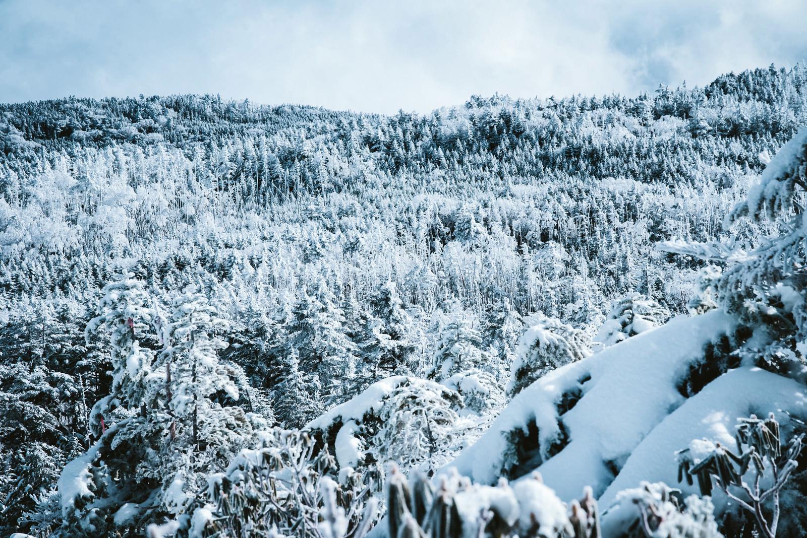 「一面に広がる樹氷の森」の写真