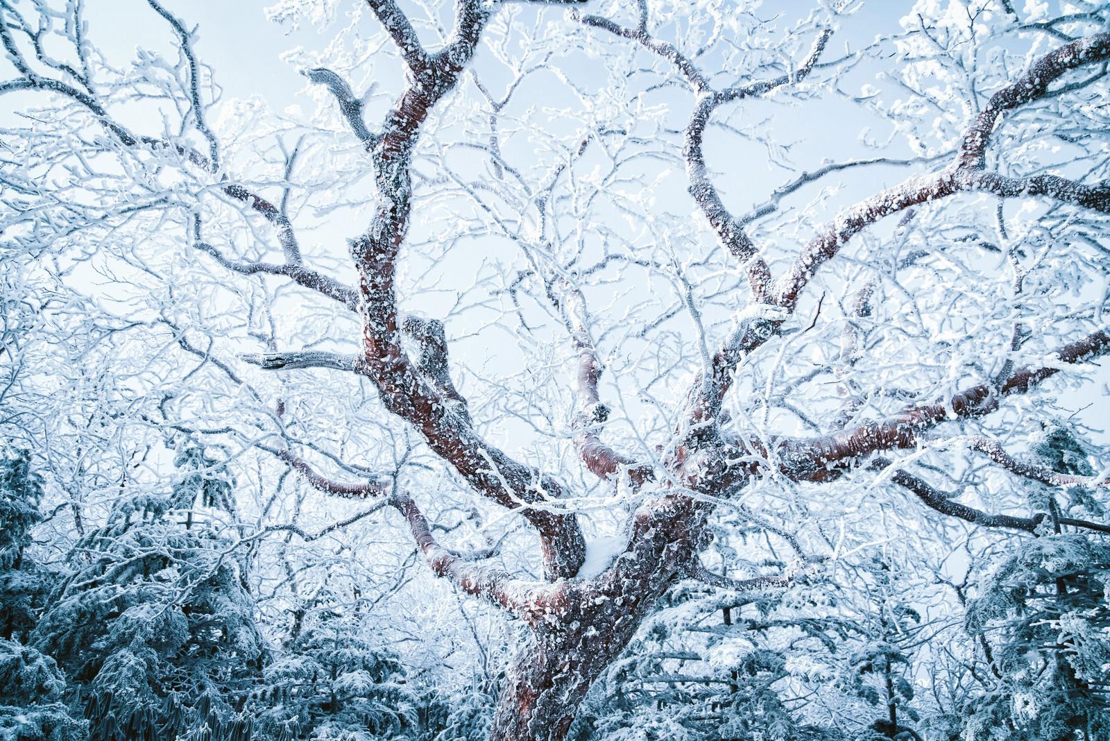 「張り巡らせる樹氷」の写真