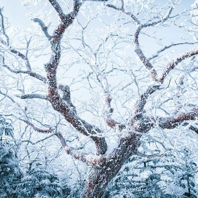 張り巡らせる樹氷の写真