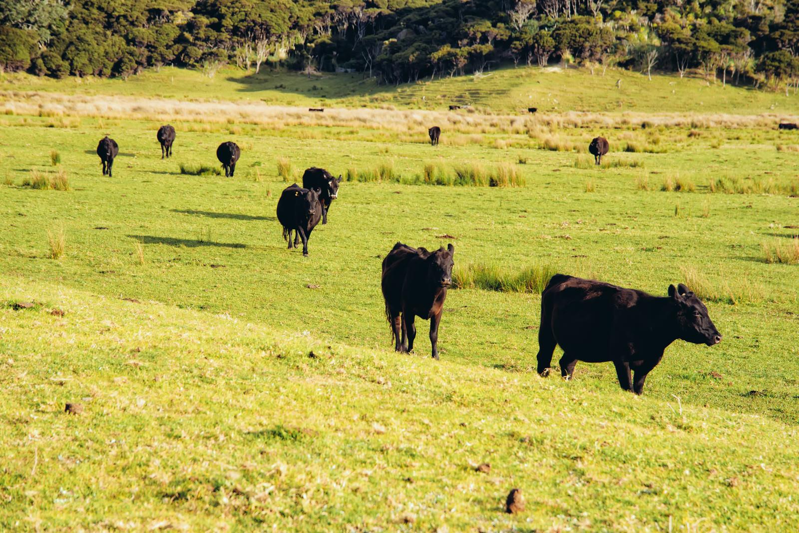 「野生の牛の群れ(ニュージーランド)」の写真