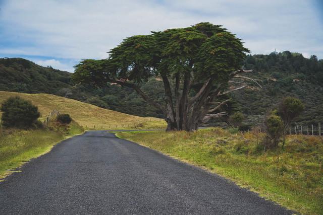 道沿いの大木の写真