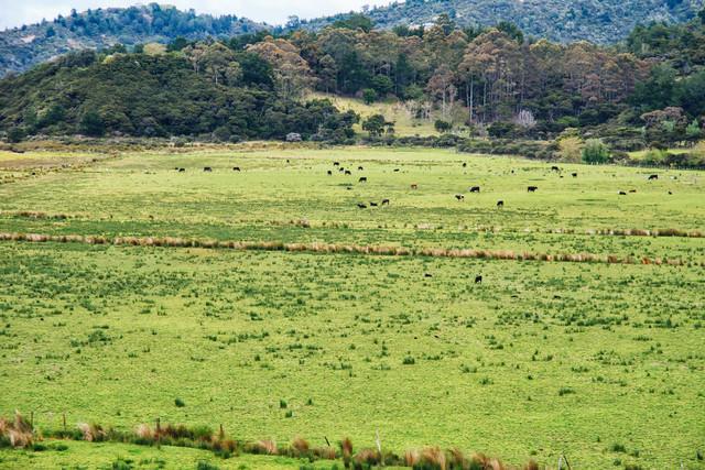 グレートバリア島の牧草地と野生の牛(ニュージーランド)の写真