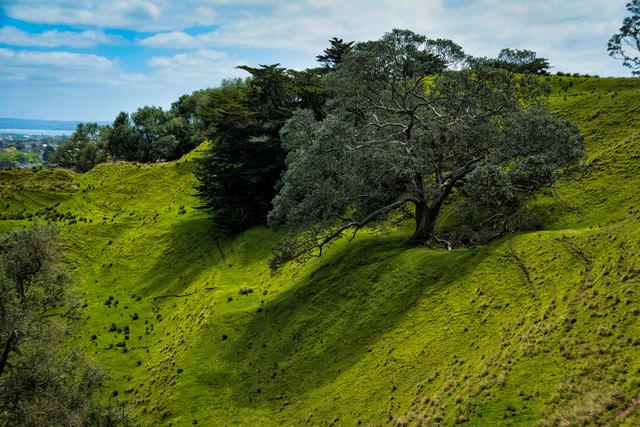 コーンウォール・パークの傾斜に立つ巨木(ニュージーランド)の写真