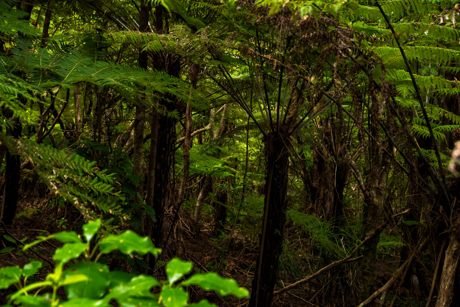 「ニュージーランドにある原生林の森」の写真