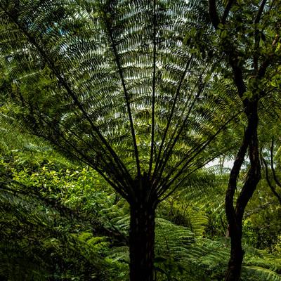 ニュージーランドの植物「シルバーファーン」の写真