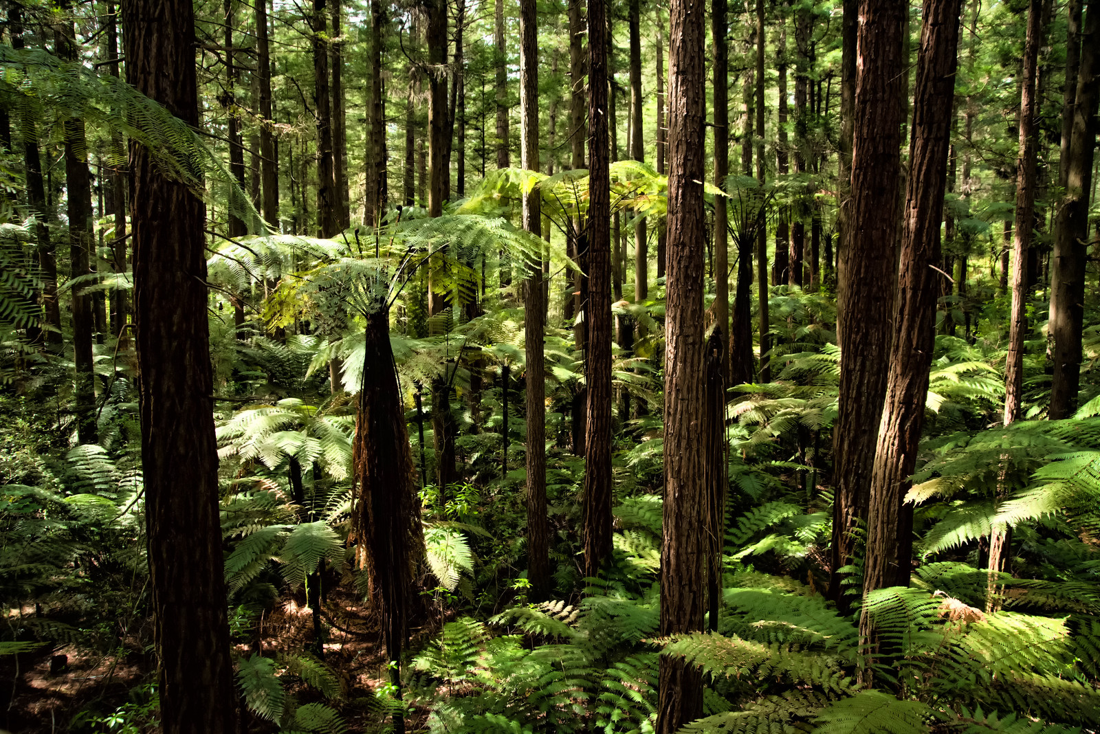 「ジャイアントセコイアとシルバーファーンの森と差し込む光(ニュージーランド)」の写真