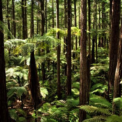 ジャイアントセコイアとシルバーファーンの森と差し込む光(ニュージーランド)の写真