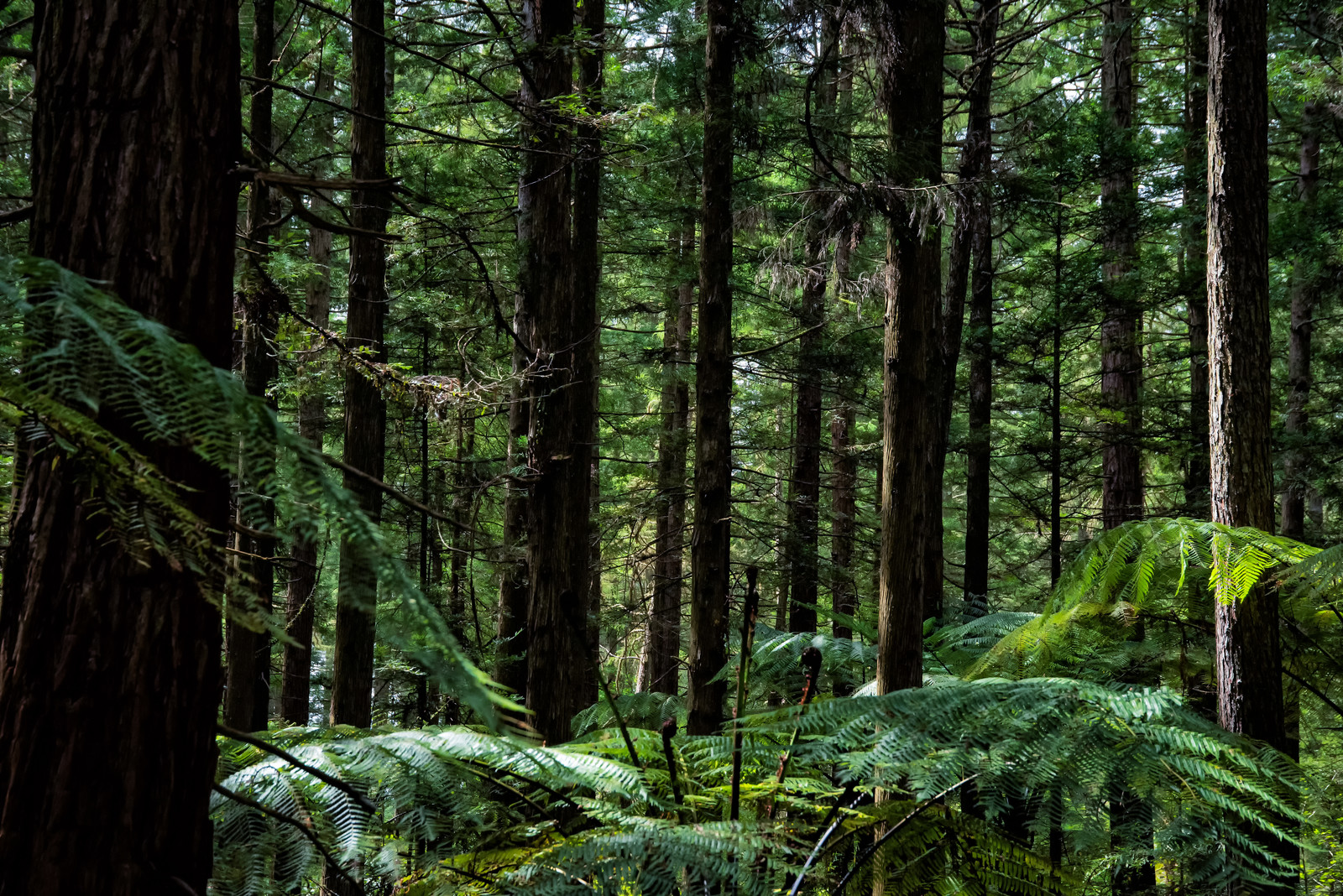 「ジャイアントセコイアの自生する森(ニュージーランド)」の写真