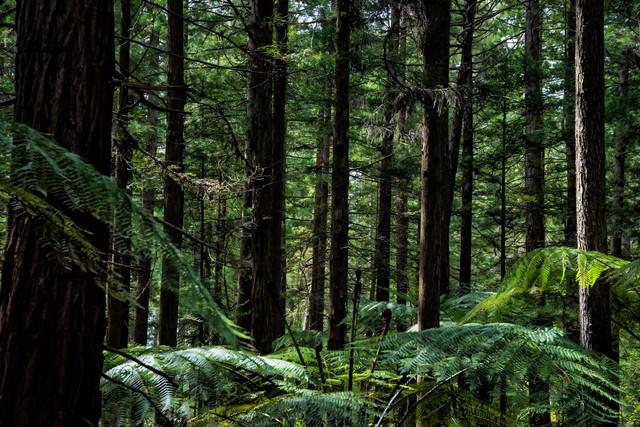 ジャイアントセコイアの自生する森(ニュージーランド)の写真