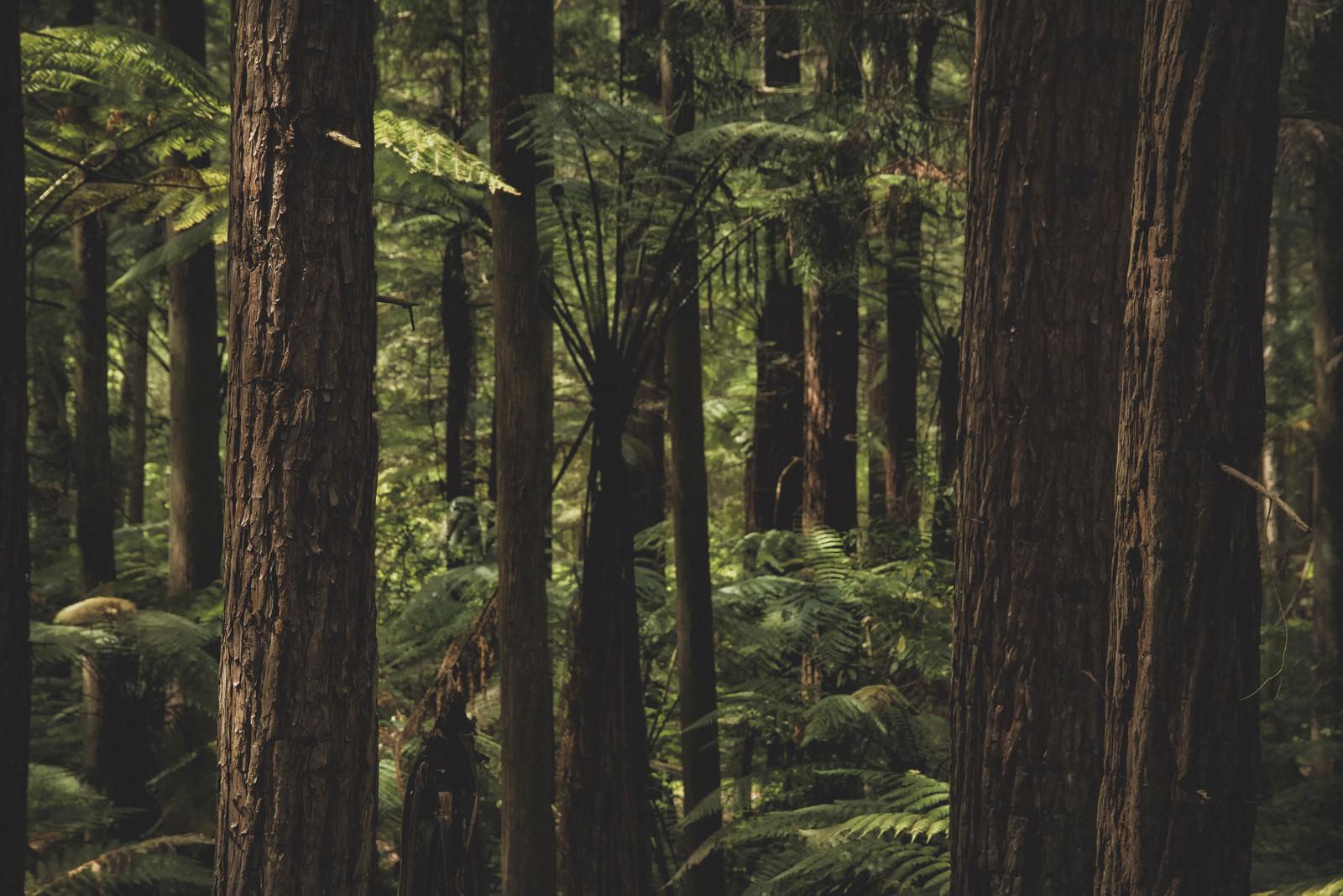 「ニュージーランドの原生林が自生する森」の写真